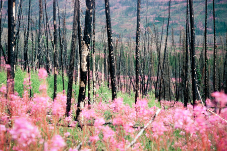 devastating: Blooming fireweed, epilobium angustifolium, begins cycle of life again after devastating forest fire in boreal forest of Yukon Territory, Canada