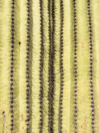 carnegiea: Spiny Saguaro Cactus, Carnegiea gigantea, detailed background texture pattern
