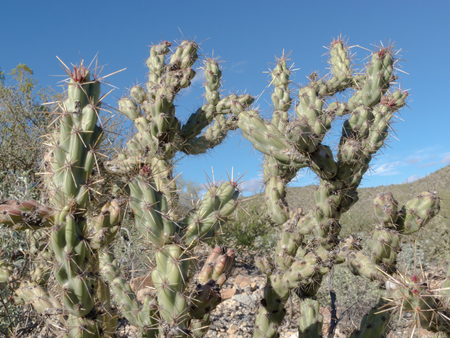 cholla cactus: Cactus Buckhorn Cholla, Opuntia acanthocarpa, green plant vegetation of the Sonoran Desert