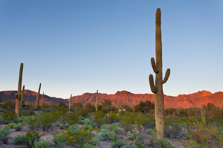 desert vegetation: Desert sunset landscape of Saguaro National Park near Tucson, Arizona, US, with green Sonoran Desert vegetation and iconic Saguaro cacti, Carnegiea gigantea Stock Photo