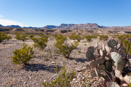 state park: Chihuahuan Desert landscape of Big Bend Ranch State Park, Texas, US, with creosote bushes and purple prickly pear cactus on rocky ground