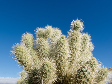 cholla cactus: Teddy Bear Cholla cactus, Cylindropuntia bigelovii, spiny segments against blue desert sky