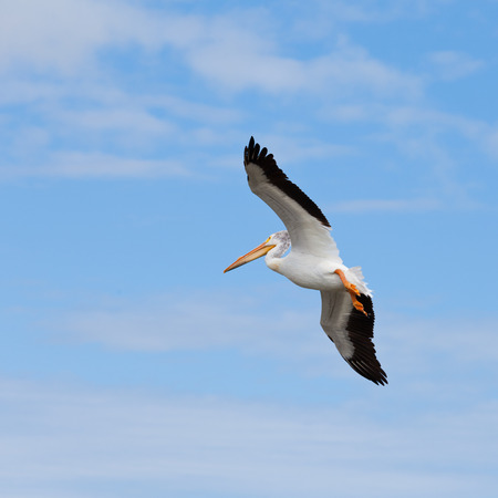 Great White Pelican, Pelecanus onocrotalus, adult bird in flight, soon to land, before blue cloudy sky background