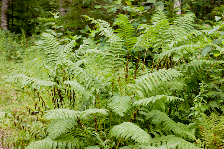 interrupted: Green Interrupted Fern, Osmunda claytoniana, growing green in forest being wet after rain