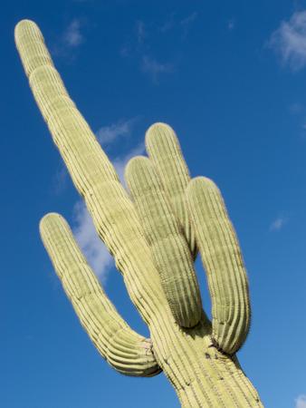 saguaro cactus: Tall Saguaro Cactus, Carnegiea gigantea, columnar cactus of Sonoran Desert with four spiny arms Stock Photo