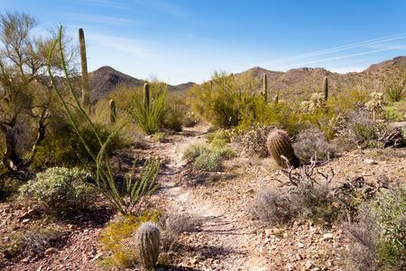 Desert trail in Saguaro National Park near Tucson, Arizona, US, between green Sonoran Desert vegetation and iconic Saguaro cacti, Carnegiea gigantea