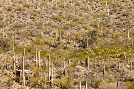 sonoran: Historic stone building in Saguaro National Park near Tucson, Arizona, US, between green Sonoran Desert vegetation and iconic Saguaro cacti, Carnegiea gigantea