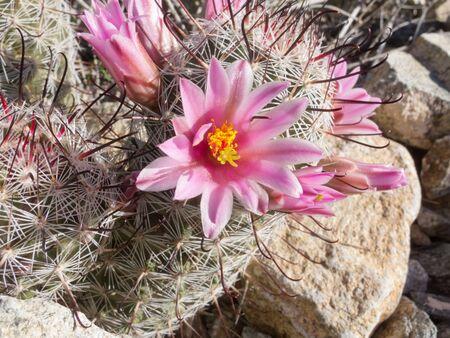 fishhook: Blooming Fishhook Pincushion cactus, Mammillaria grahamii, close-up vegetation on desert floor Stock Photo