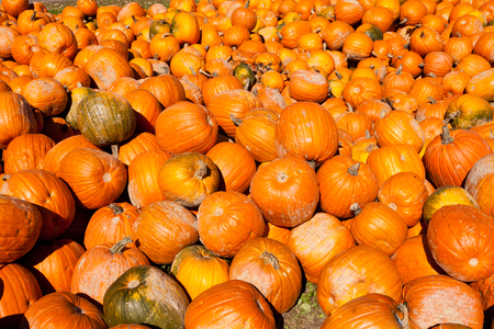 crop harvest: Bumper crop harvest of Halloween or Thanksgiving Day holiday pumpkins as agricultural background texture pattern Stock Photo