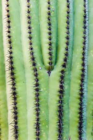 carnegiea: Spiny green skin of Saguaro Cactus, Carnegiea, gigantea, abstract background texture pattern