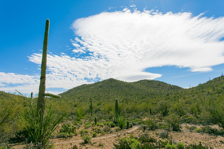 sonoran desert: Desert trail in Saguaro National Park near Tucson, Arizona, US, between green Sonoran Desert vegetation and iconic Saguaro cacti, Carnegiea gigantea