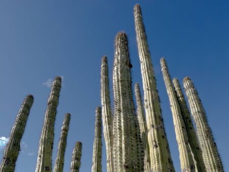 sonoran desert: Organ pipe cactus, Stenocereus thurberi, a columnar cactus of the Sonoran Desert