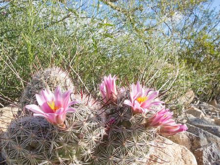 fishhook: Flowering Fishhook Pincushion cactus, Mammillaria grahamii, close-up among other green desert plant vegetation Stock Photo