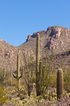sonoran desert: Desert landscape of Saguaro National Park near Tucson, Arizona, US, with green Sonoran Desert vegetation and iconic Saguaro cacti, Carnegiea gigantea