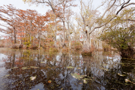 nc: Fall colors of Water Tupelo, Nyssa aquatica, and Cypress tree, Taxodium distichum, in Merchants Millpond State Park, North Carolina, NC, USA