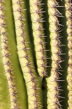 gigantea: Spiny ribs detail of Saguaro Cactus, Carnegiea, gigantea, abstract background texture pattern Stock Photo