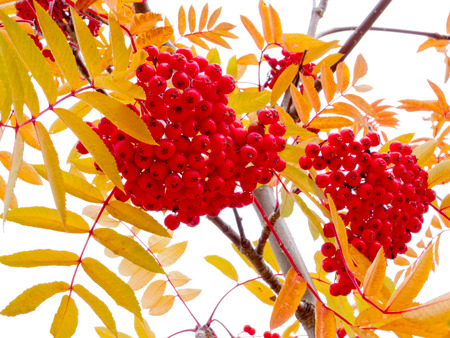rowanberry: Mountain Ash, Sorbus aucuparia, ripe red berries, also called ashberry or rowanberry, and yellow autumn fall leaves on tree Stock Photo