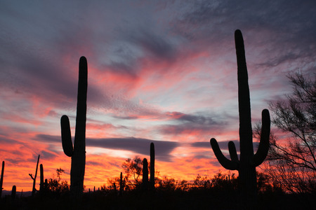 sonoran: Sonoran Desert sunset with iconic Saguaro columnar cacti, Carnegiea gigantea, in Saguaro National Park, Arizona AZ, USA Stock Photo