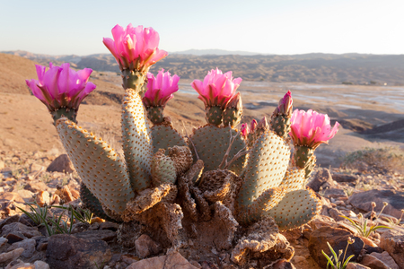 Blooming Beaver Tail Cactus, Opuntia basilaris, in desolate Mojave Desert landscape, Southern California, USA Stock Photo