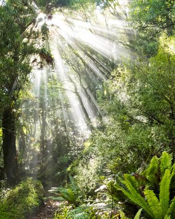 penetrating: Sun beams of light penetrating dense lush green canopy of subtropical rainforest jungle wilderness, New Zealand