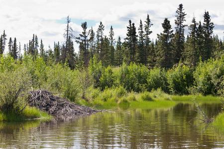 yukon territory: Beaver, Castor canadensis, lodge made from sticks and mud in boreal forest taiga riparian wetland biome habitat of Yukon Territory, Canada