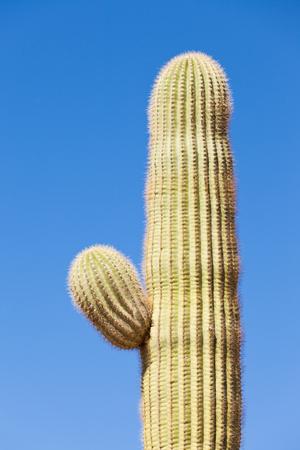 columnar: Detail of Saguaro Cactus, Carnegiea gigantea, columnar cactus of Sonoran Desert starting to develop side branch arm against blue desert sky