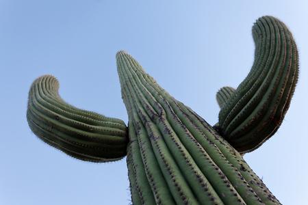 columnar: Tall Saguaro Cactus, Carnegiea gigantea, columnar cactus of Sonoran Desert with spiny arms Stock Photo