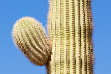 Detail of Saguaro Cactus, Carnegiea gigantea, columnar cactus of Sonoran Desert starting to develop side branch arm against blue desert sky