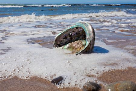 Big Perlemoen Abalone Shell die irisierende Perlmutt Perlmutt-Perle Innen auf Kalifornien Strand gespült zeigt an Pazifik-Küste, USA