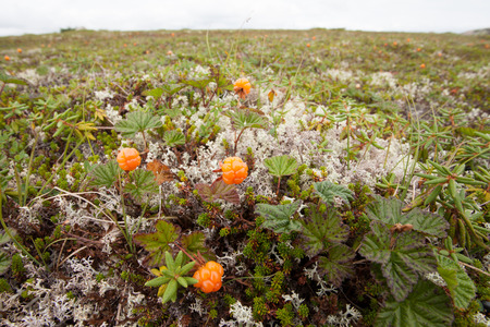 chicouté: Wild cloudberries, Rubus chamaemorus, ripe and ready to be harvested growing on alpine tundra in Labrador, NL, Canada