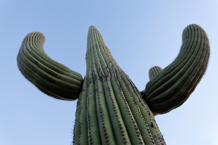 Tall Saguaro Cactus, Carnegiea gigantea, columnar cactus of Sonoran Desert with spiny arms Stock Photo