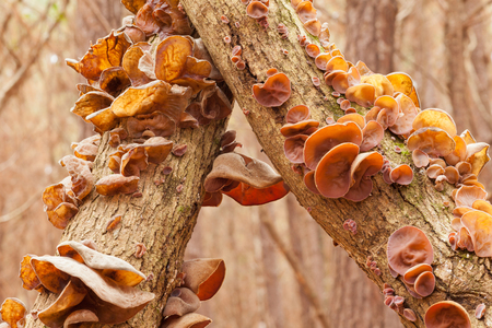 wild asia: Judas Ear mushrooms, Auricularia auricula-judae, on forest tree, a delicious Chinese vegetable food