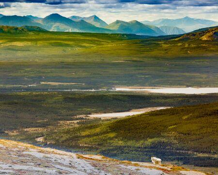 yukon territory: Rocky Mountain goat, Oreamnos americanus, in subalpine country landscape of mountains of southern Yukon Territory, YT, Canada, Stock Photo