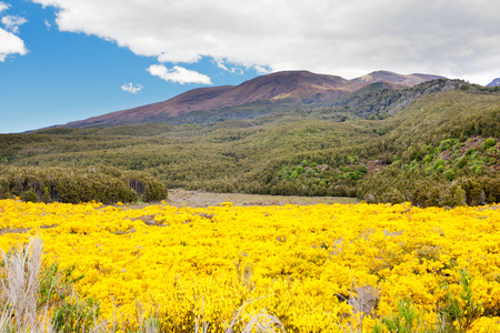 Flowering yellow broom in front of volcanic mountains of the stock flowering yellow broom in front of volcanic mountains of the volcano field of tongariro national park mightylinksfo