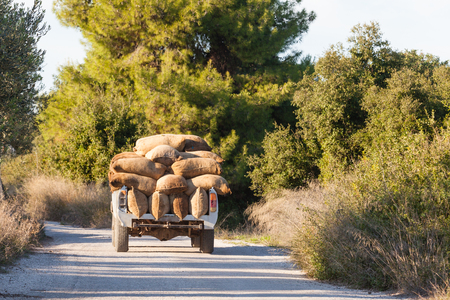 Heavy load of sacks filled with freshly harvested olives on white truck on rural road in Greece Stock Photo