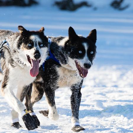 mushing: Siberian huskies running side-by-side pulling sleigh in Yukon Quest 1,000 Mile International Sled Dog Race Stock Photo
