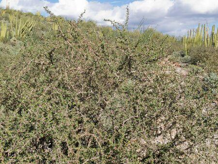 Limber Bush, Jatropha cuneata, in Sonoran Desert landscape has sap that contains a red dye