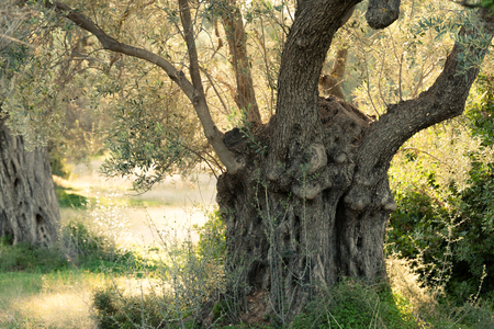 Shade of old olive tree, Olea europaea, groove in Greek countryside of rural Greece Stock Photo
