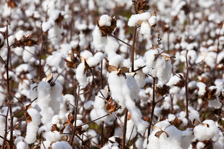 Cotton field agriculture ready to harvest in North Carolina, NC, USA Stock Photo