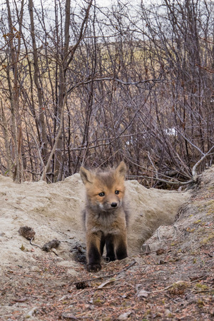 Curious young red fox cub, Vulpes vulpes, explores outside den burrow