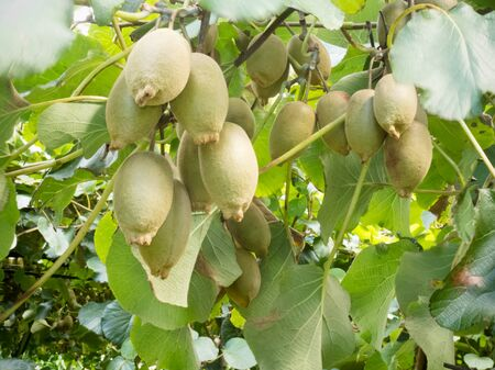 Closeup of cultivated ripe kiwifruits, Actinidia deliciosa, hanging heavily from vines ready to be harvested as an agricultural crop