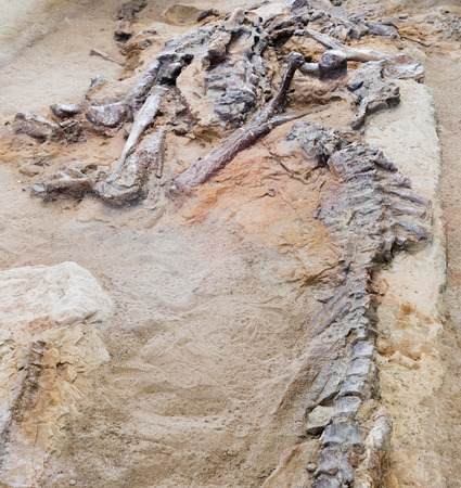 Archaeologic dig of carefully exposed petrified fossilized bones of Hadrosaur  Dinosaur Provincial Park, Alberta, AB, Canada
