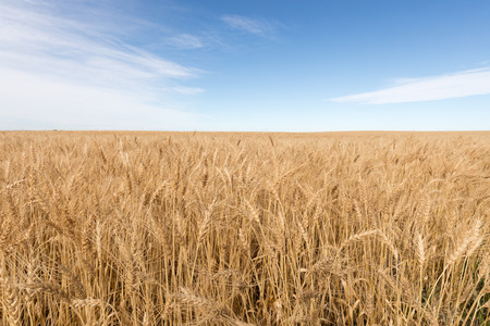 Endless field of ripe rye stretches to horizon in prairie landscape of Alberta, AB, Canada