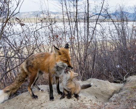 Male red fox nuzzling young cub at den site 写真素材