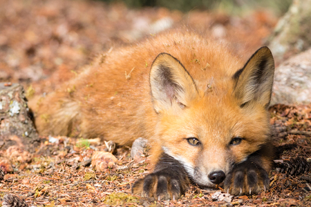 Stare of young red fox playful stalking prey
