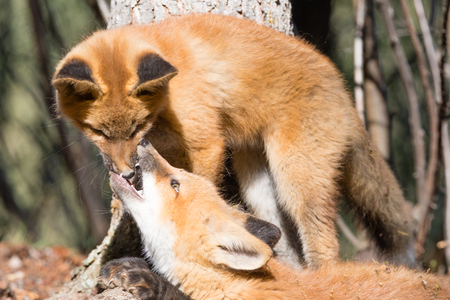 Cute young red foxes playing and biting nose