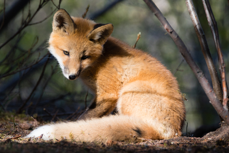 Cute young red fox in sunny spot in forest