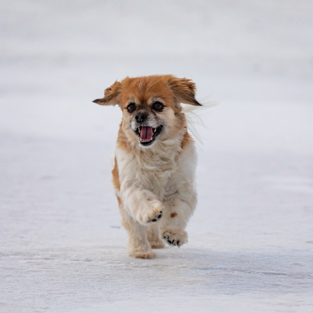 Happy Cavalier King Charles Spaniel dog running outdoors on white snow covered frozen ground