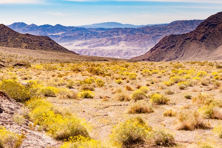 Blooming yellow desert flowers past Jubilee Pass toward Badwater Basin of Death Valley desolate arid desert landscape in Death Valley National Park, California, CA, USA