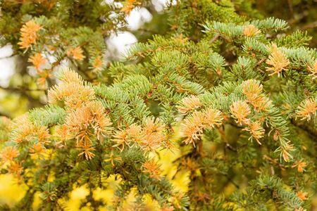 Spruce Labrador Tea Rust, Chrysomyxa sp., fungal disease growing yellow orange spores on current year's white spruce, Picea glauca, needles 写真素材 - 132019566